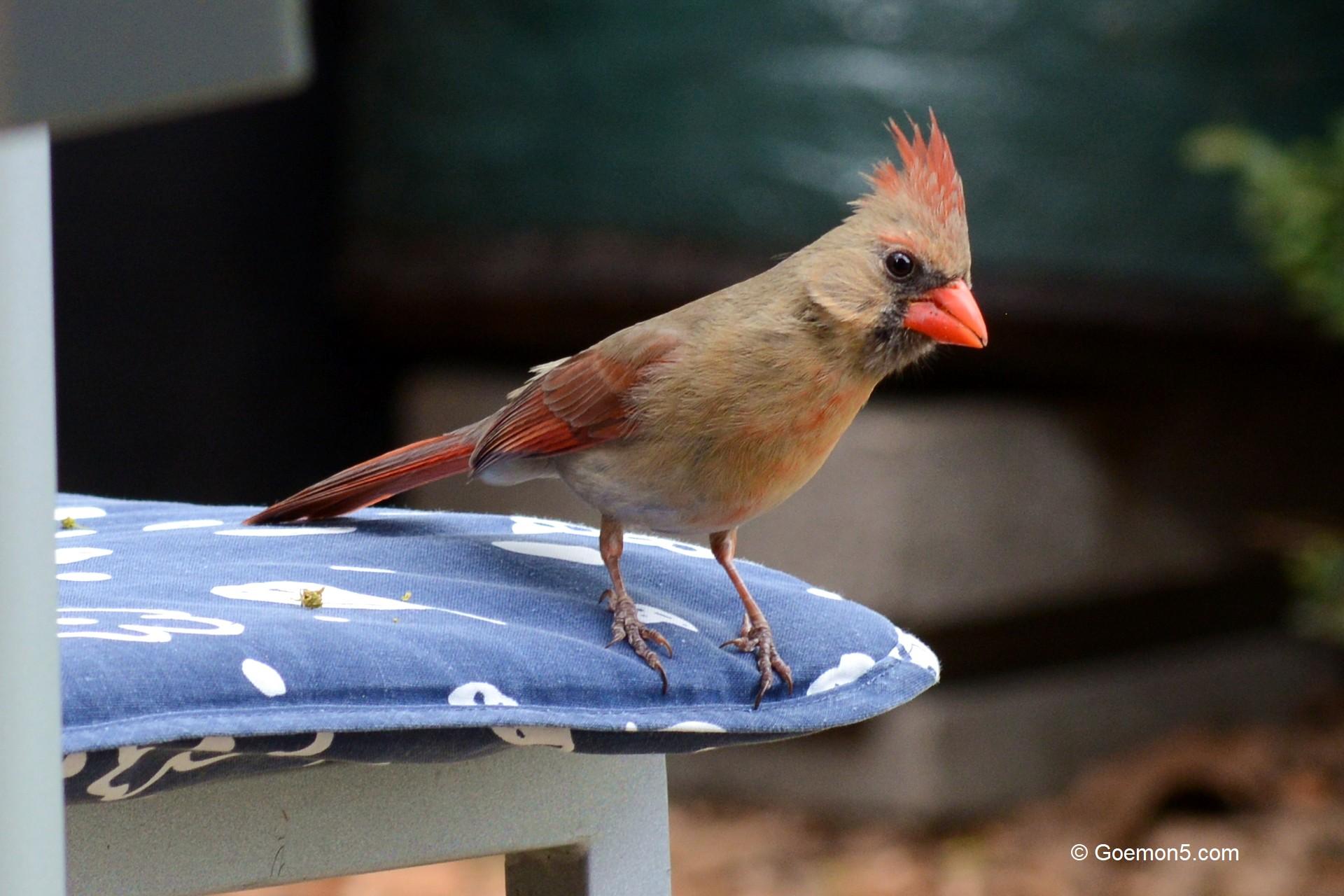 Cardinal Bird in Toronto